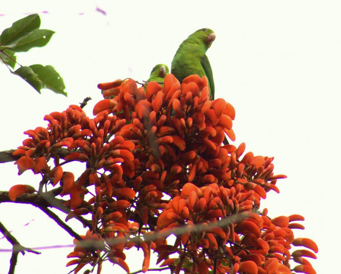 Florada de árvores nativas deixa primavera mais exuberante em várias regiões paranaenses. Na foto, Corticeira Falcata em flor.Foto: Divulgação IAP