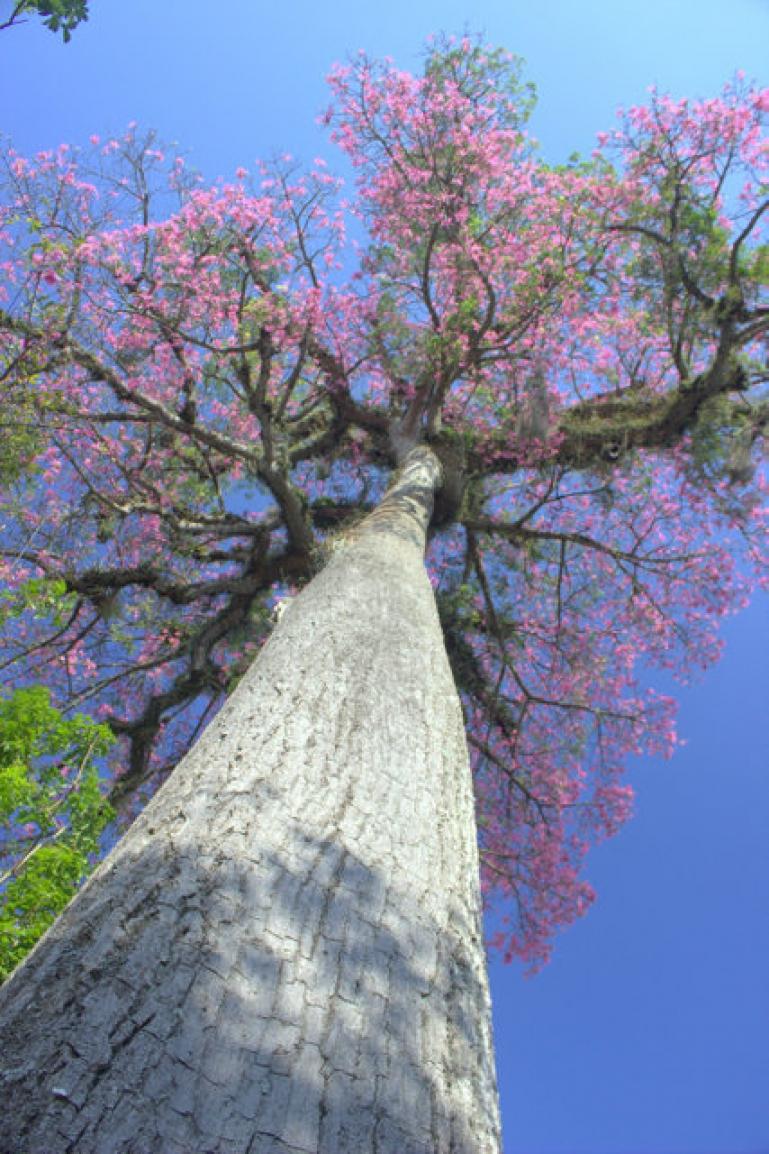 Florada de árvores nativas deixa primavera mais exuberante em várias regiões paranaenses. Na foto, Paineira.Foto: Divulgação IAP