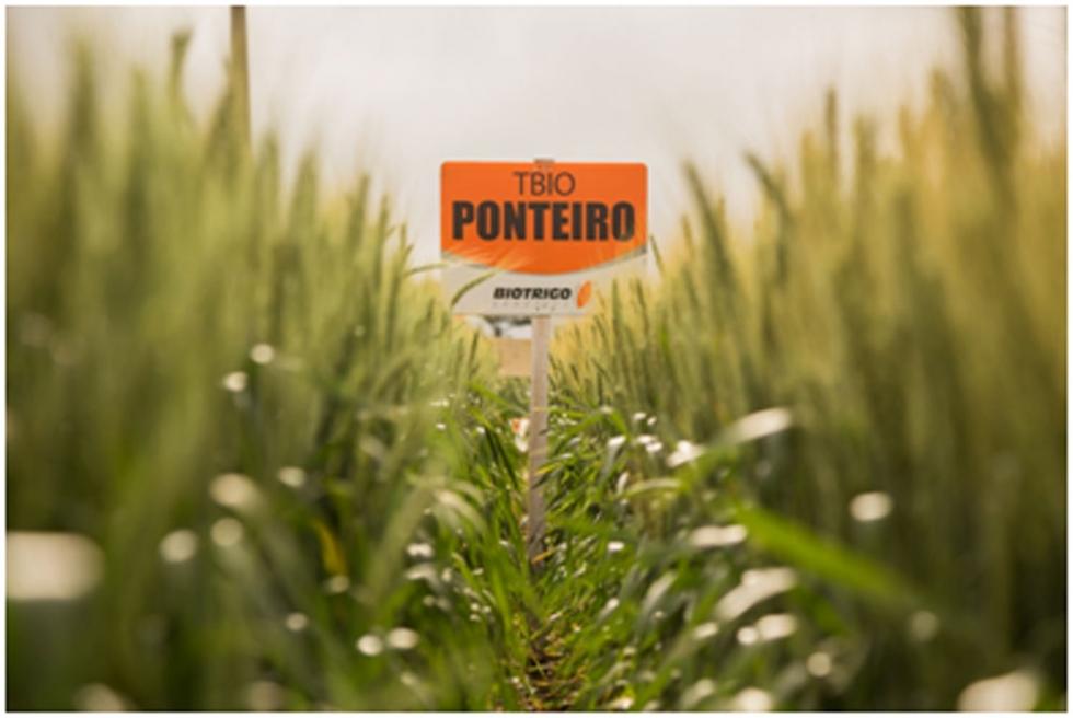 Para abrir a semeadura, trigo de ciclo médio/tardio - Foto: Divulgação