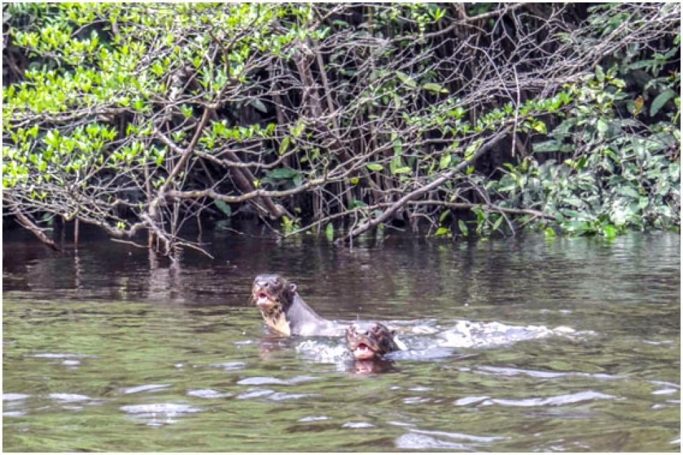 Ariranhas estão entre os mamíferos foco do plano do ICMBio - Foto: André Coelho