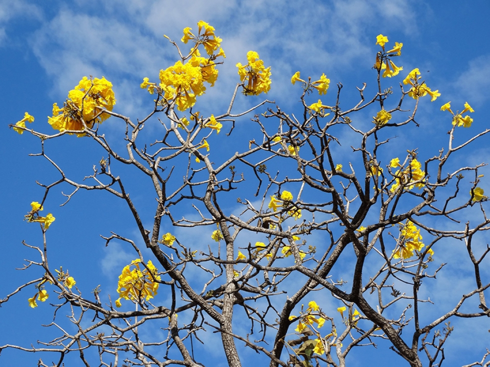 A florada dos ipês também chama a atenção nessa época do ano – Foto: dianesgomes/ Pixabay