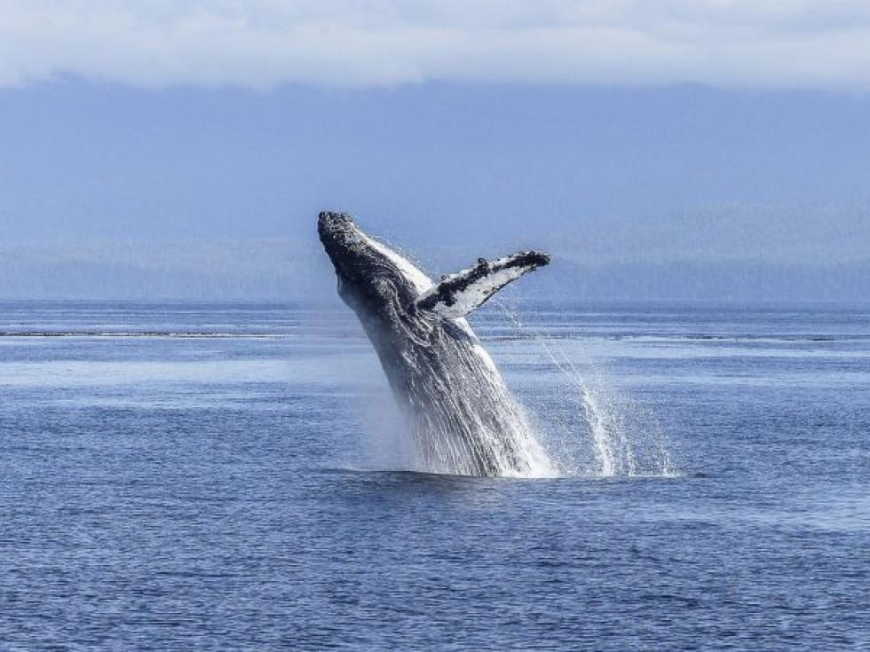 No Brasil, as baleias se concentram na Bahia e em Santa Catarina – Foto: Pixabay