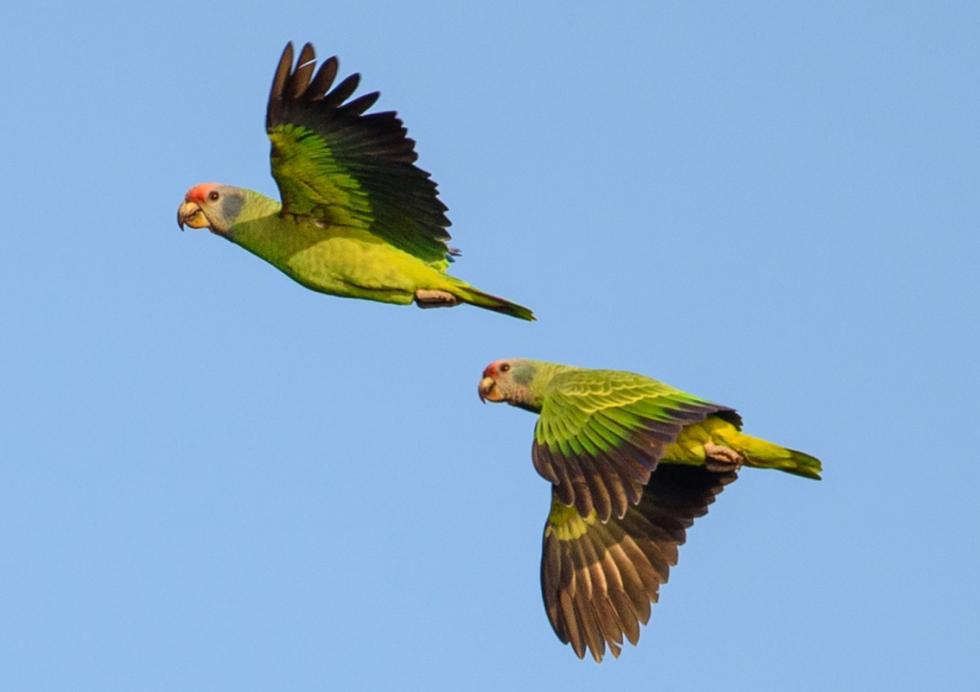 Papagaiocararoxa-wikiaves-MarceloAceto